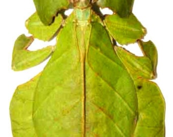 Supplies for your artworks - dried insects - : Phyllium pulchrifolium female, leafinsect ,MOUNTED A1 quality,  FREE SHIPPING
