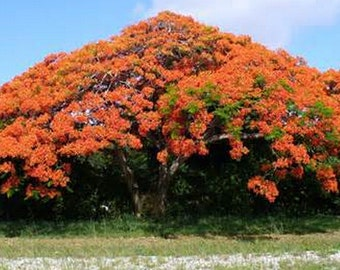 New Home Gaeden Plant 10 Seeds Royal Poinciana, Delonix Regia, Tree Seeds Flame Tree, Flamboyant Tree