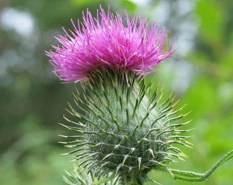 New Arrival 100 Seeds Home Garden Plant Purple MILK THISTLE Silybum Marianum Flower Seeds