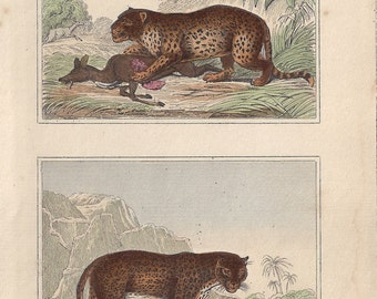 Leopard and Panther - Antique French natural history engraving, c1835