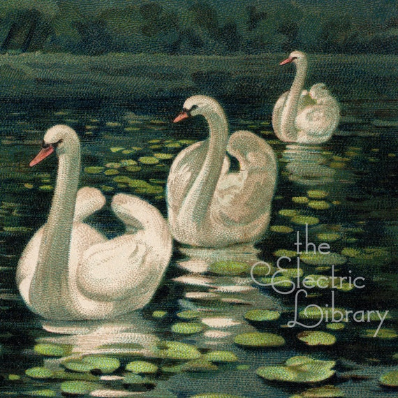 Swans At Sunset Digital Download: Four Swans Glide Across