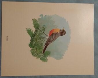 Vintage Robin Bird Print by Bob Hines