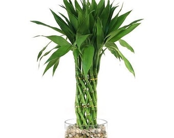 Modern Braided Tower Lucky Bamboo (FREE SHIPPING)