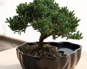 Zen Reflections Juniper Bonsai   (FREE SHIPPING)