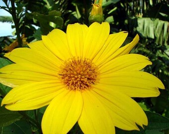 """Tithonia diversifolia GIANT MEXICAN SUNFLOWERS """"Bolivian Sunflower"""" live potted plant"""