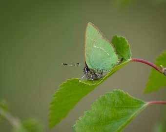 "Green Streak Butterfly - 16"" x 12"" Photographic Print"
