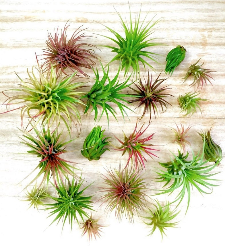 100 tillandsia air plant pack wholesale over 10 by skyfarms for Cheap air plants