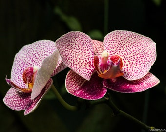 Floral Photography-Two Orchids
