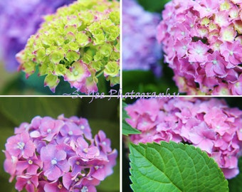 Hydrangea Collection - Nature Photos, Flowers, Floral, 5x5 or 8x8, 4 Picture Set or Individuals
