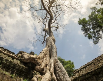 Temple Tree Angkor Wat, Pictures of Trees, Landscape Pictures, Angkor Wat Art, Home Art, Fine Art Photography | Temple Tree 2 - Cambodia.