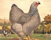 Chicken, Pullet, Dark Brahma, Antique Matted Print, Lewis Wright C. 1885