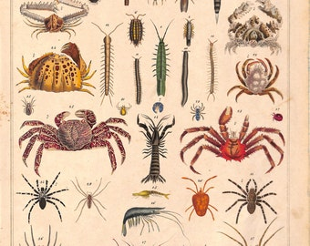 Crabs, Spiders, Insects, Oken, Antique Matted Print, 1840