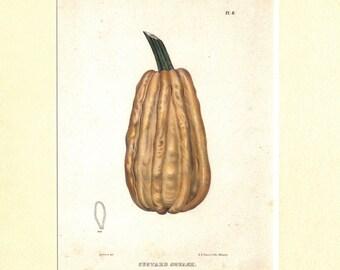 Squash, Custard Squash, Kitchen, Antique Matted Print, 1849