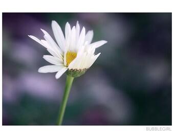 Nature Photography PRINT, Windswept Daisy, Wall Art