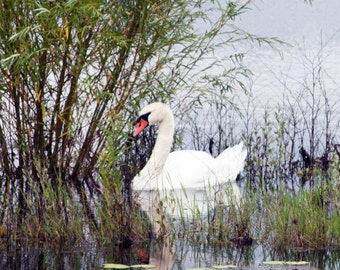 Swan, photo on canvas, birds, nature photography
