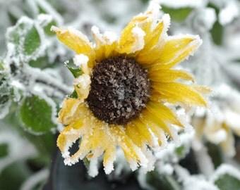 Frozen Sunflower