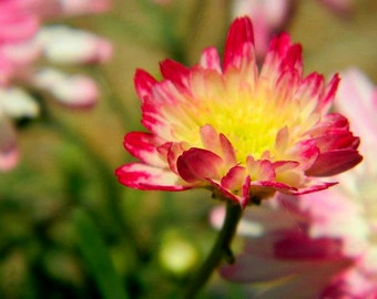 Pink and Yellow Flower Canvas2