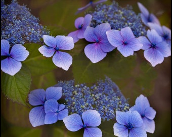 Blue Green Hydrangea Photograph--Lace Caps--Fine Art