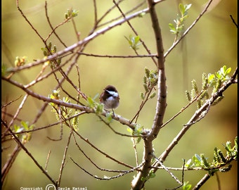 Chickadee Green Tree Photograph--Spotlight--Fine Art