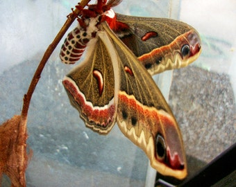 Cecropia Moth ( SOLD OUT ) until August.