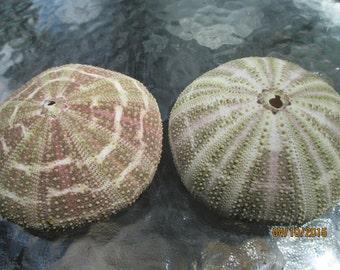 2 Large Sea Urchins  Sputnik Urchin   Beach Wedding