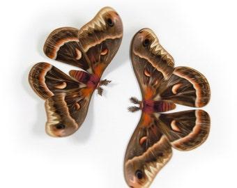 """Small 3.5"""" Cecropia Moth Papercut Decoration"""
