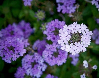 Organic Brazilian Verbena Purpletop Vervain Heirloom Annual or Wildflower Seeds