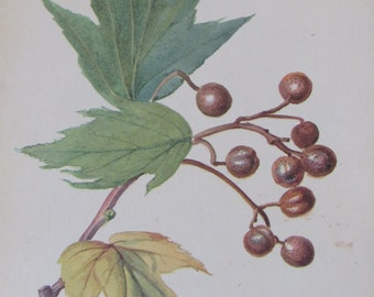 Fruit of Wild Service Tree/1970s Botanical Print of 1906 Edith Holden Water Color/Unframed Print