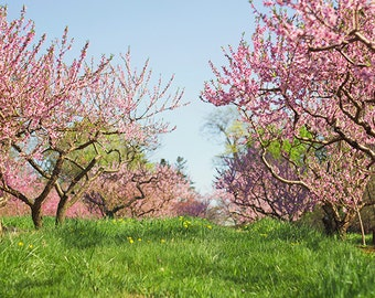 Spring orchard photograph,  Pink Rows, Glastonbury CT, New England fruit trees, fine art print home decor