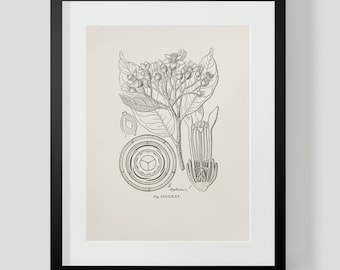 Vintage Botanical Illustration Print 4