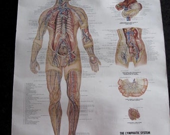 The LYMPHATIC SYSTEM 1957 Medical Chart  Weird Strange Human Body Science Anatomical