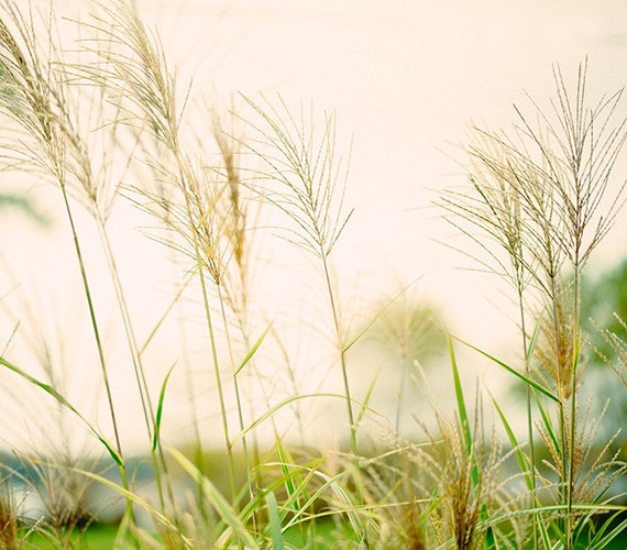 Summer Field, Art, Photography, Fine Art Print, Summer Light, Wheat, Cream, Pale Green, Sunshine