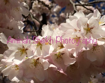 2015 DC Cherry Blossom Photography _0728