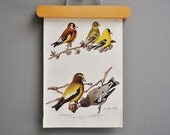 1940s Vintage Bird Book Plate - Evening Grosbeak and European Goldfinch