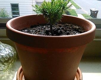 Baby cedar tree