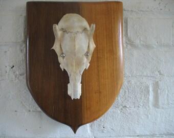 Vintage Mounted Deer Skull - Spike - 1969