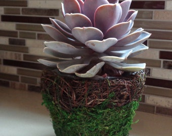 "Succulent Basket Kit-4"" Moss Basket With Wicker Rim, Succulents and Accessories"