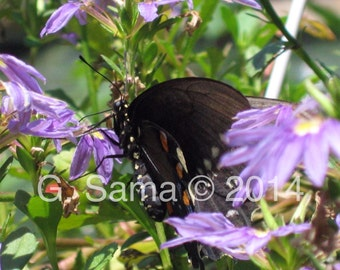 Black Butterfly on Purple Flowers 11X14 Photograph