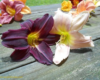 Daylily Collection, Mountain Heights and Wedded Bliss, two of each, live plants