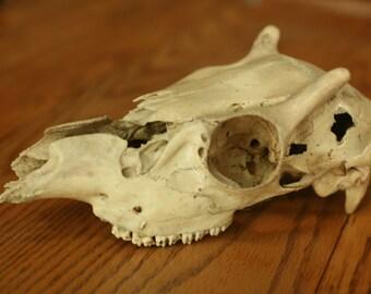 Natural Deer Skull, Home Decor, Book Shelf, Science, Animal