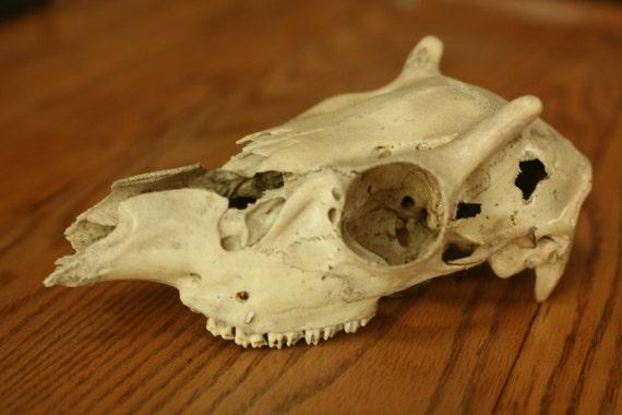 natural deer skull home decor book shelf science animal