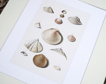Sea Shell Collection 4 in Pale Pink, Taupe & Ivory Naturalist Study Archival Print on Watercolor Paper