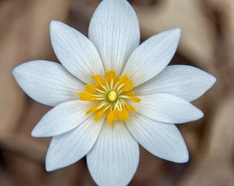 Botanical Print Spring Flower Art Print, Bloodroot Flower Photo, Nature Art, Home Decor, Fine Art Photography, Wildflower, Woodland Wall Art