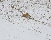 Snow Tiger Fine Art Photo...