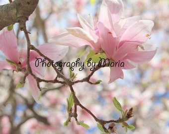 Pink Magnolia Photograph - Photography by Maria