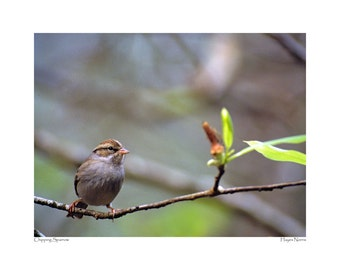 Chipping Sparrow posing on a branch near Tallahassee, Florida.