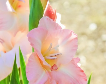 Glorious Gladiola, Gladiola, Pink, Floral, Fine Art Photography, Art Print, Wall Decor