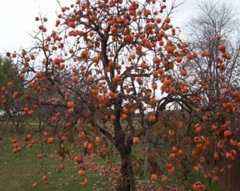 1000 Persimmon Tree Seeds, Diospyros Virginiana