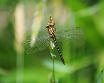 Shiny Dragonfly, Nature Photography, Metallic, Green, Wings, Fine Art Photography