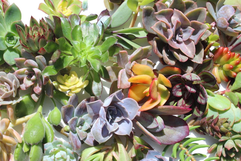 150 succulent cuttings bulk succulent cuttings wholesale succulent clippings succulent plants. Black Bedroom Furniture Sets. Home Design Ideas